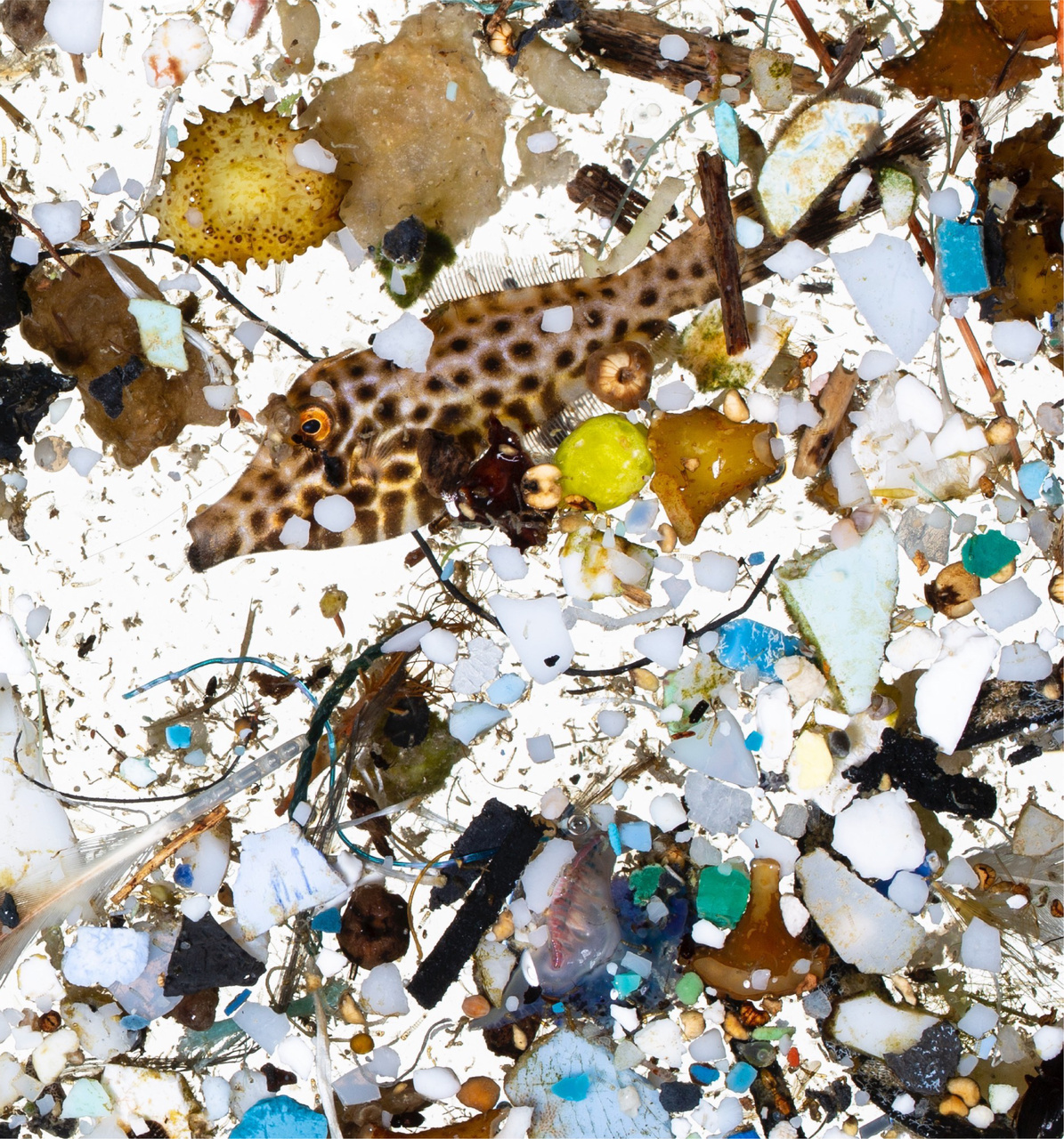 A scribbled filefish in a sea of plastics sampled from surface slicks off Hawai'i Island. Photo courtesy of David Liittschwager.