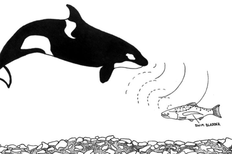 Illustration of killer whale and chinook salmon