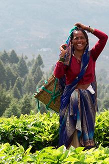 Woman harvesting kumaon tea