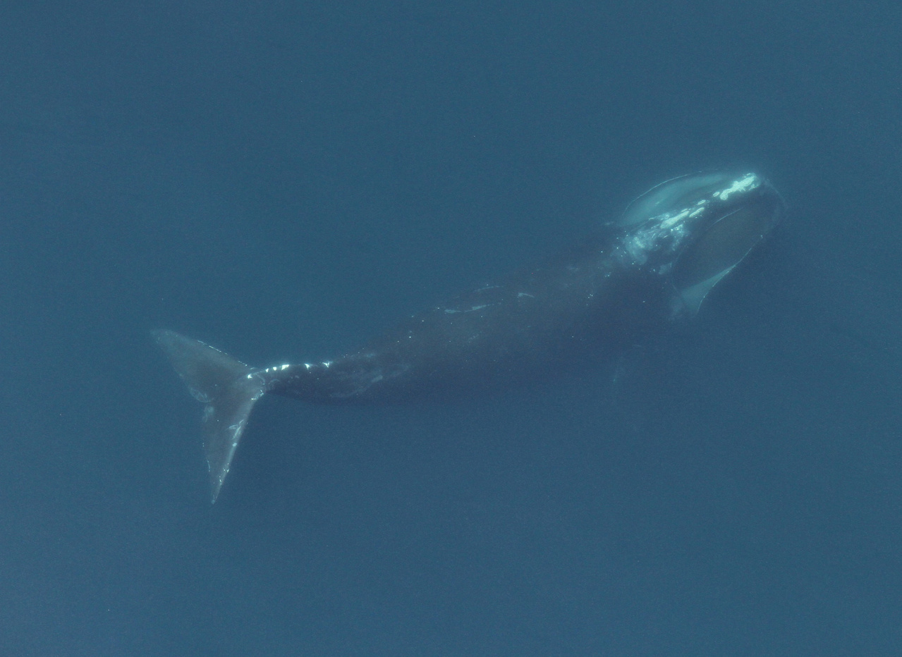 aerial image of a right whale feeding