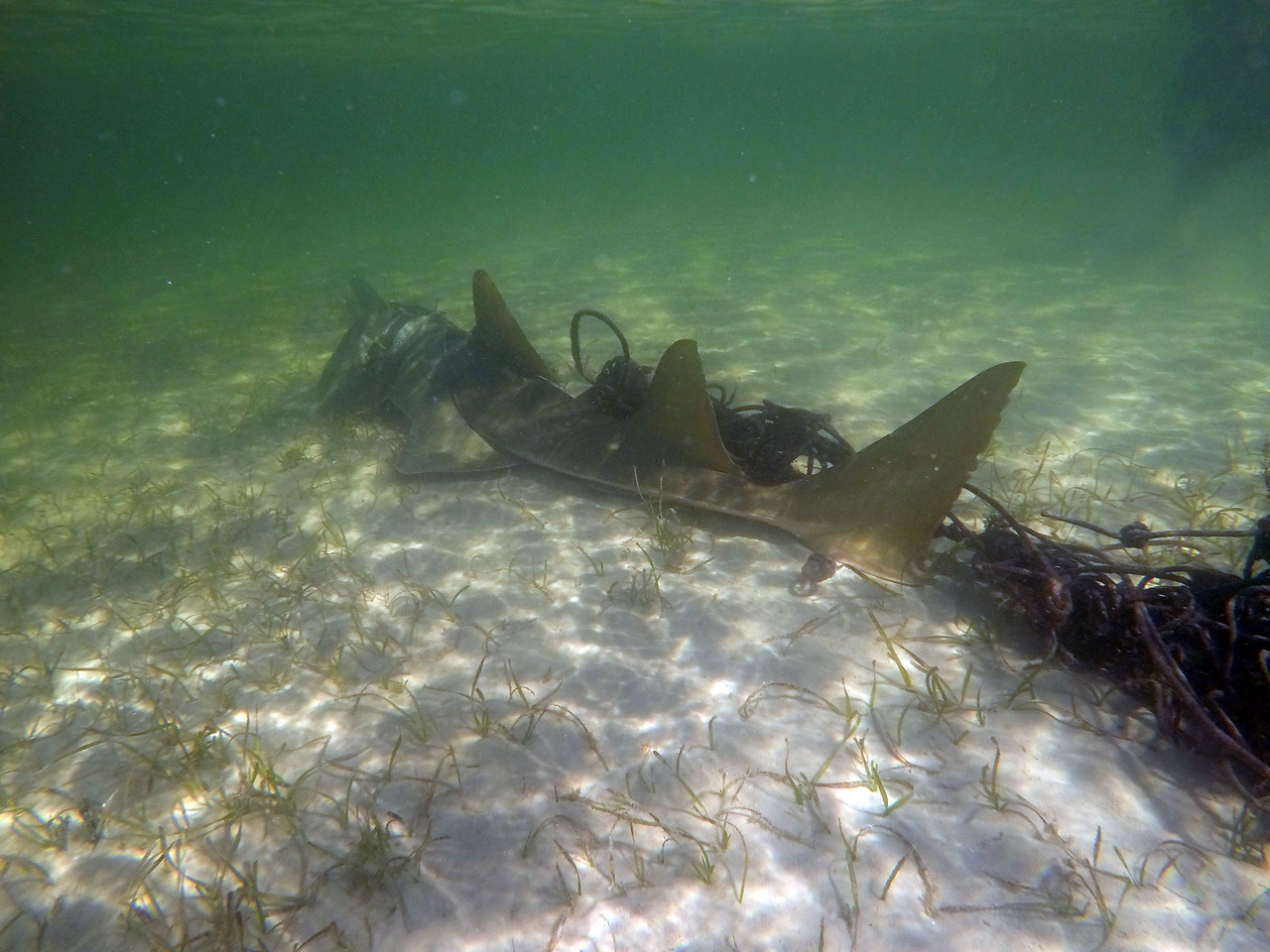 Entangled Sawfish NPS Photo.jpg