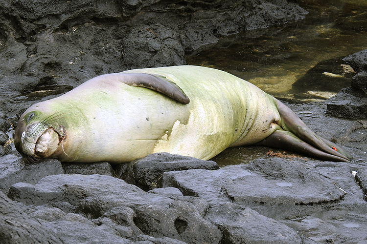 Hawaiian monk seal with a fishing hook stuck on left cheek.