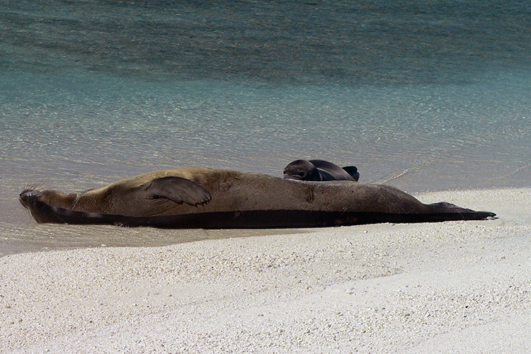 Monk seal resting with pup on her back.
