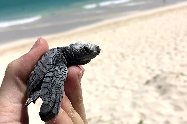 Olive ridley sea turtle hatchling.