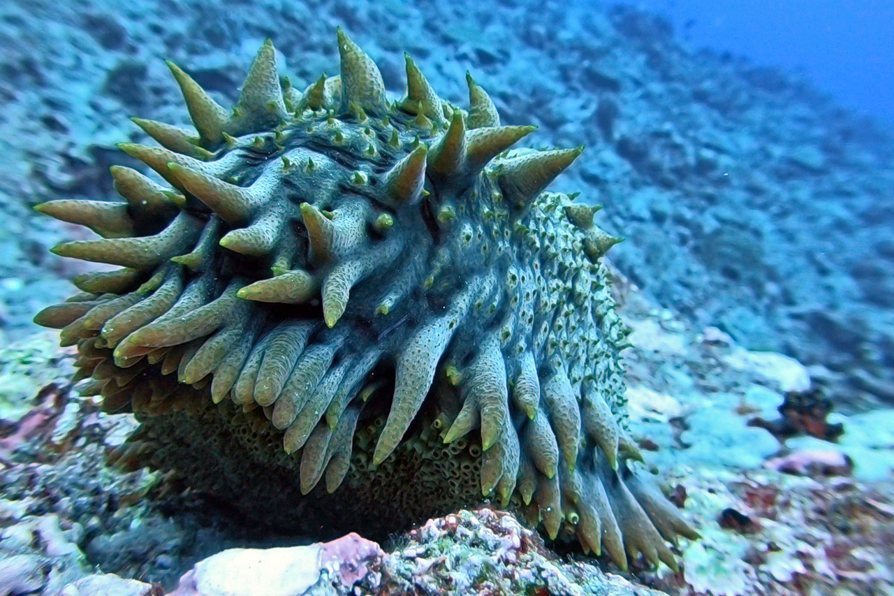 This elaborate sea cucumber eats detritus and organic matter off of the sand and recycles it as nutrient output for the reefs. (Photo: NOAA Fisheries/Evan Barba)