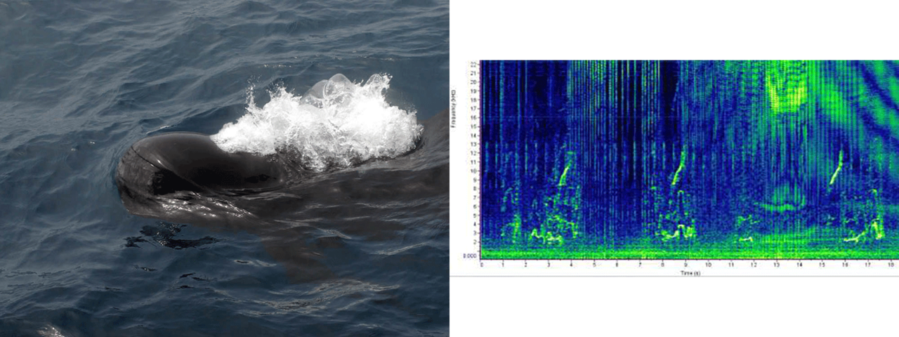 pilot whale photo and sound chart