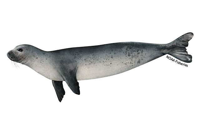 Illustration of a juvenile Mediterranean monk seal.