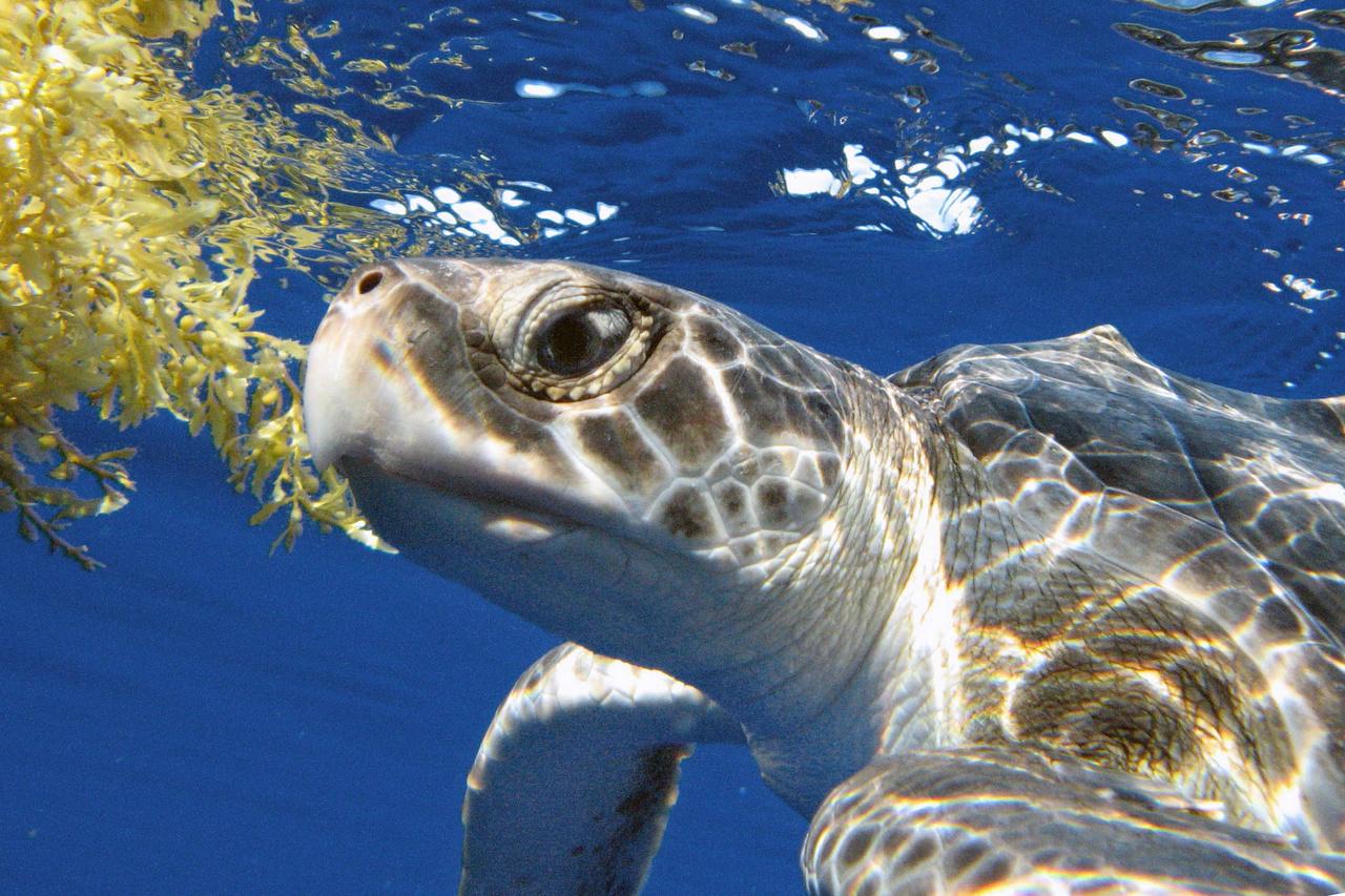750x500-juvenile-Kemp's-ridley-Gulf-of-Mexico.jpg