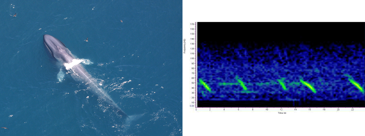 blue whale photo and sound chart