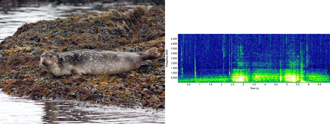 harbor seal photo and sound chart