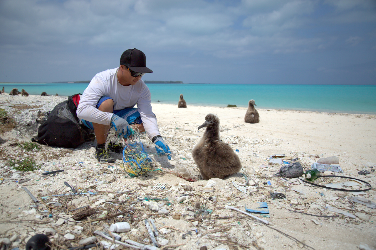 James Morioka cleans debris from around a Laysan albatross chick in a nest