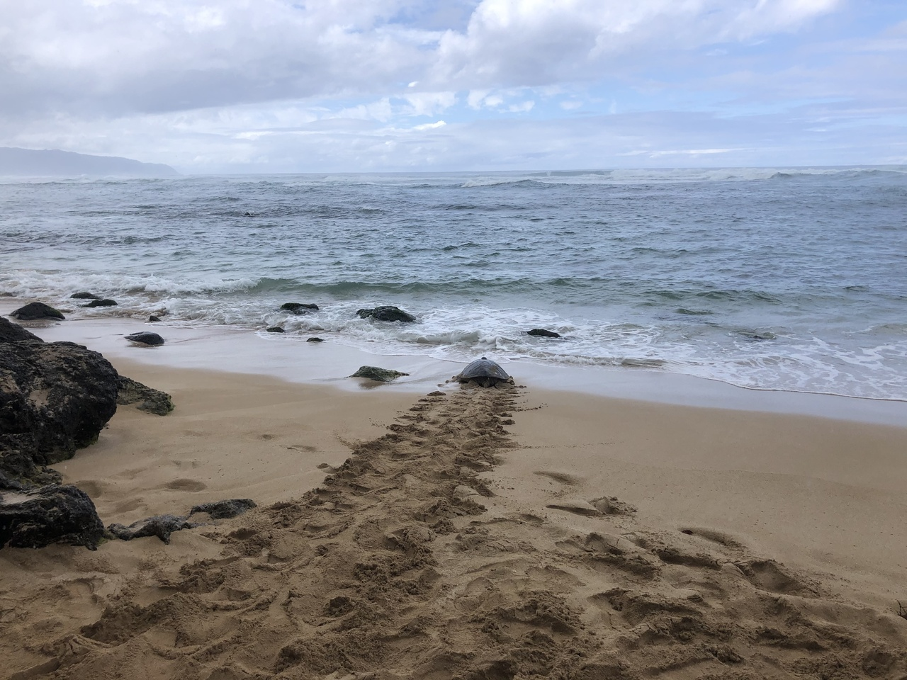 Turtle leaving tracks behind as it heads into the water.