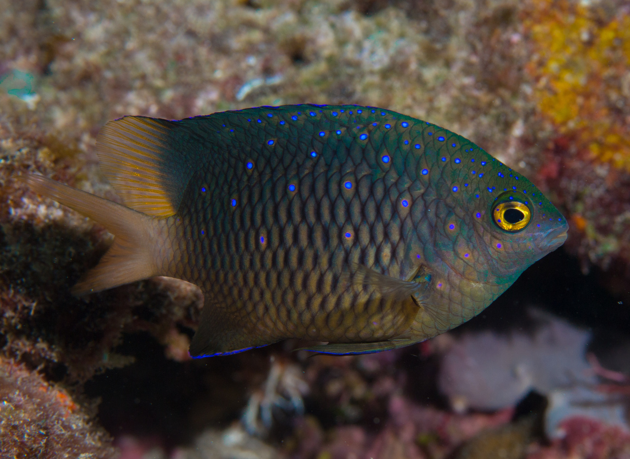 "This territorial damselfish, the jewel damsel, has bright blue irridescent spots along its body. These fish ""farm"" algae plots and are very territorial, darting after other fish and even divers, warning them to stay away from their food source. (Photo:NOAA Fisheries/Tate Wester)"