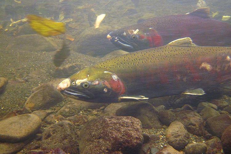 Coho salmon swimming along a river bottom.