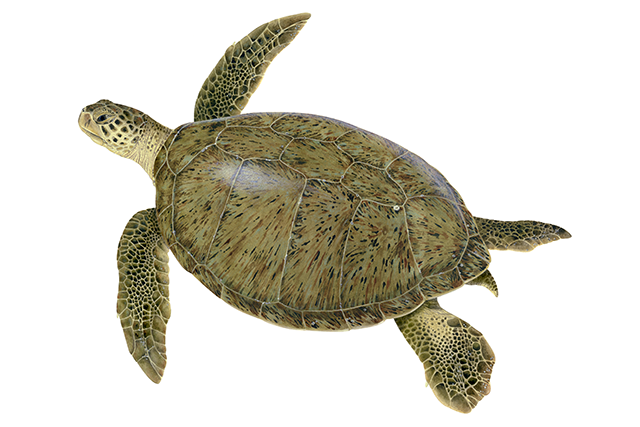 Green sea turtle illustration.
