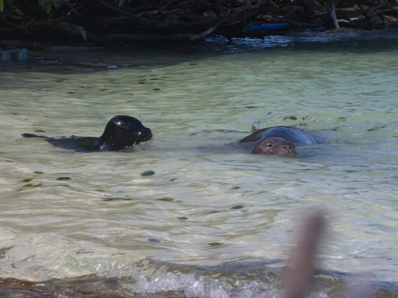 TG28 swimming with pup.