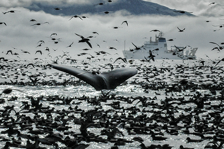 Humpback whale dives among a large group of seabirds