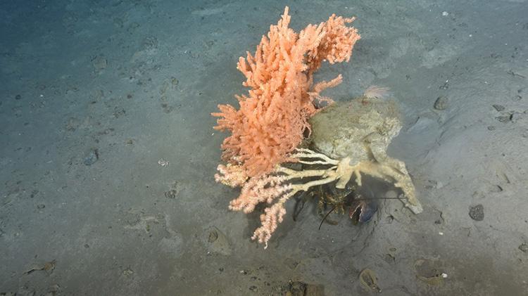 lobster-corals-4.jpg