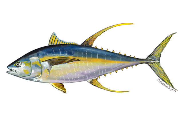 Atlantic yellowtail tuna