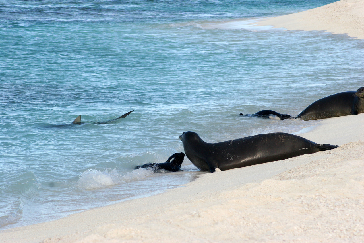 Sharks circle near a monk seal pup and mother