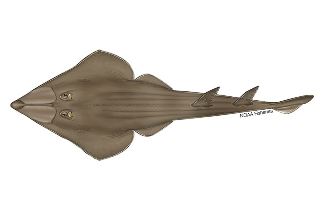 Blackchin guitarfish illustration