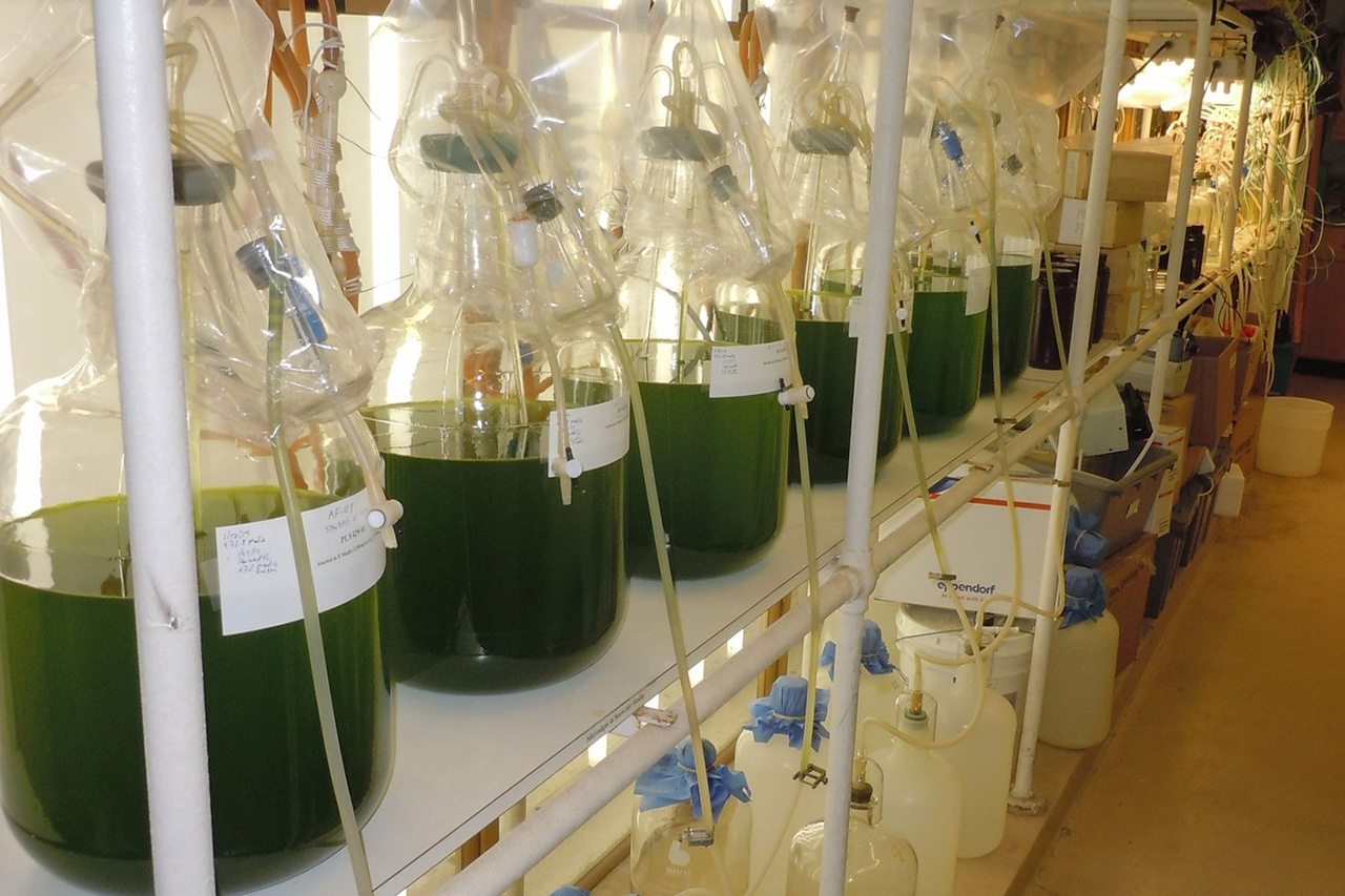 Rack of algae filled glass containers