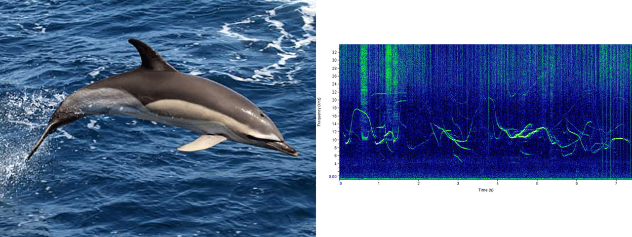 common dolphin photo and sound chart