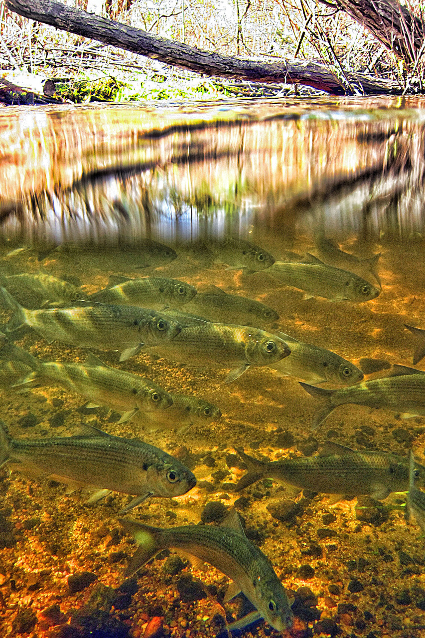 a group of migrating alewives just under a calm, clear river surface