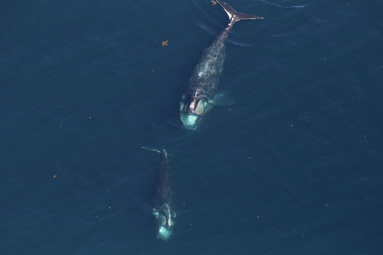 Two North Atlantic right whales feeding at the surface.