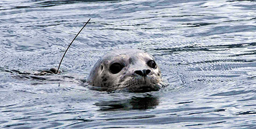 Harbor seal swims with back-mounted satellite tag, Photo by John Jansen