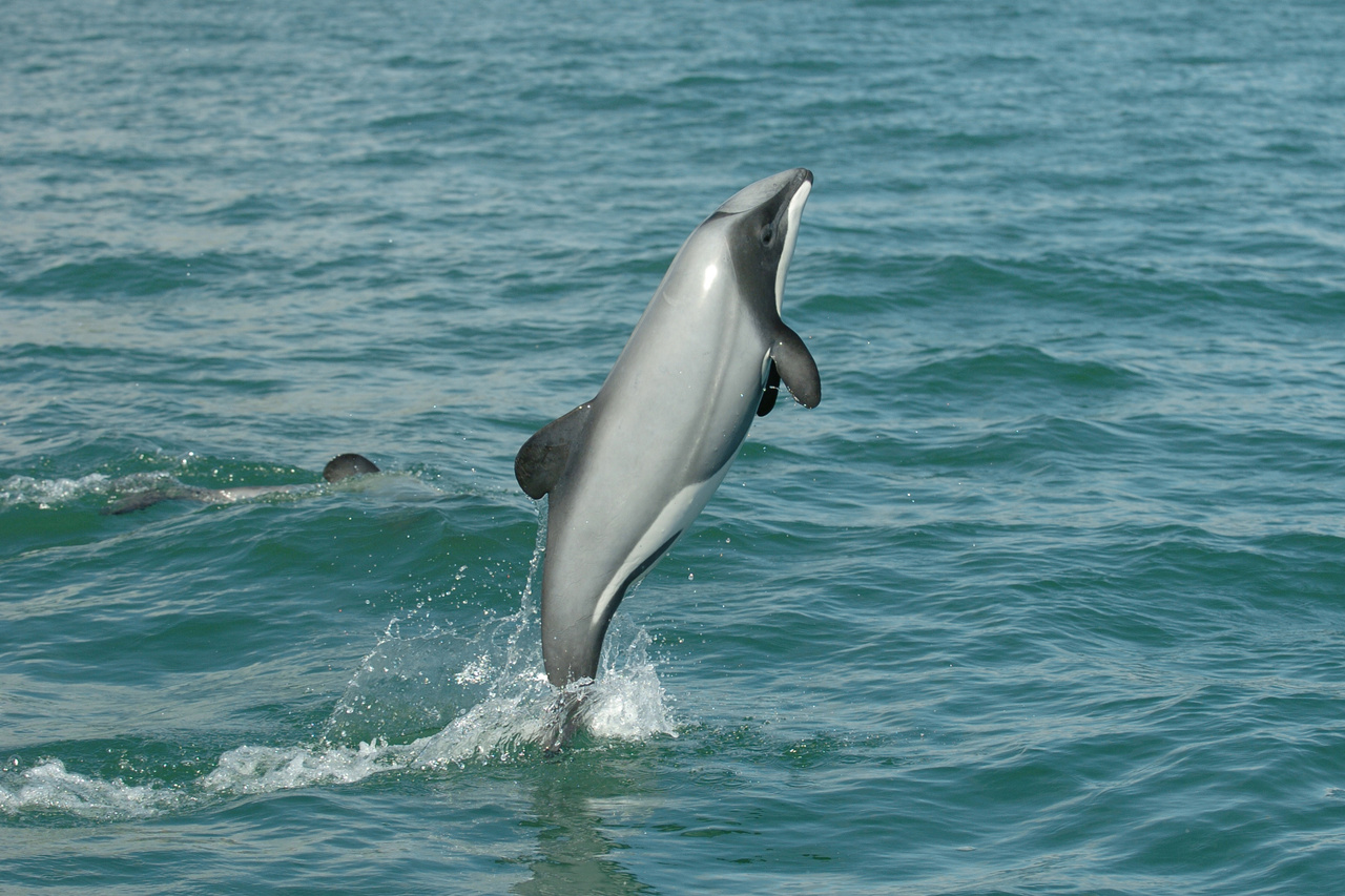 Hector's dolphin jumping out of the waters of the Banks Peninsula. ©Steve Dawson, NZ Whale and Dolphin Trust