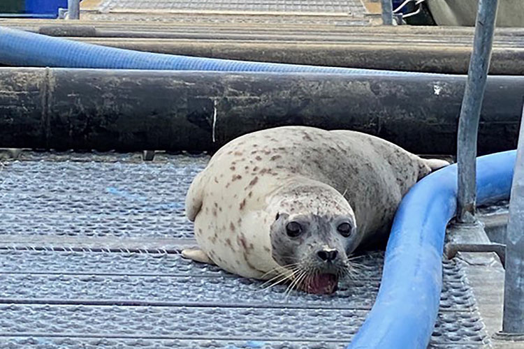 Personnel at the hatchery in Valdez discovered a harbor seal with its teeth stuck in metal grating.