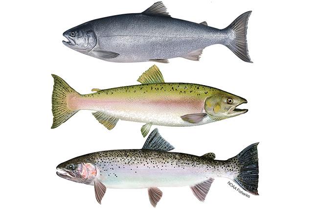 Illustration of steelhead trout, pink salmon, and coho salmon.