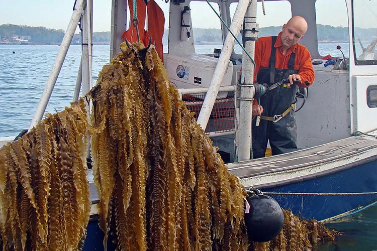 Fisherman pulling up sugar kelp. Photo: GreenWave/Ron Gautreau.