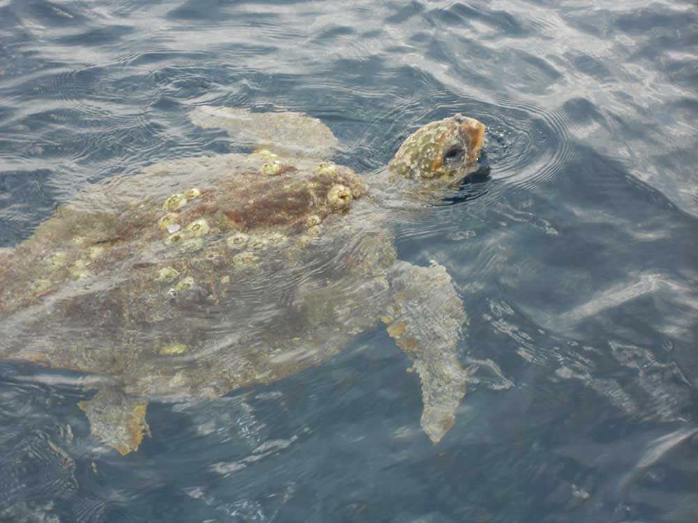 swimming loggerhead turtle with its head above water