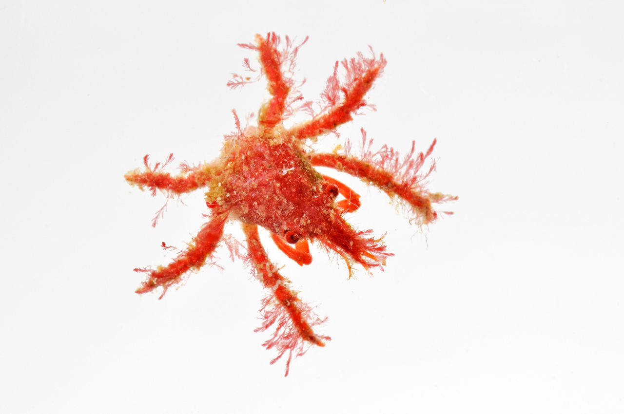 It is a decorator crab, one of the little creatures found in autonomous reef monitoring structures, ARMS. They have sticky hair to attach algae on their bodies and to blend in with their habitat. (Photo: NOAA Fisheries/Evan Barba)