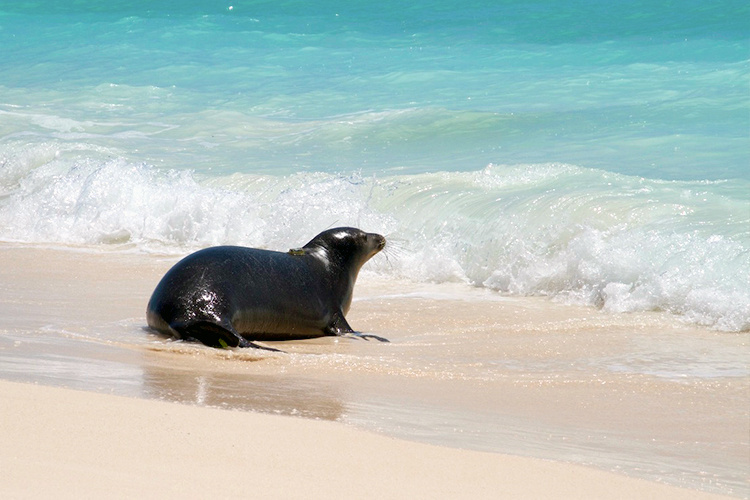 Monk seal being released back to the wild (ocean).