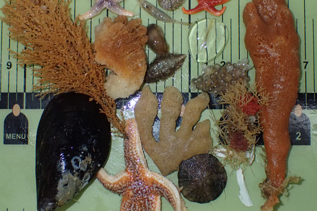 A selection of benthic animals.png