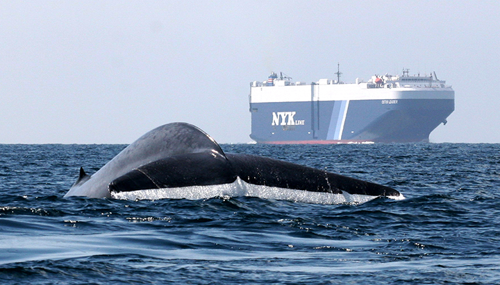 A blue whale surfaces near shipping traffic off Southern California.