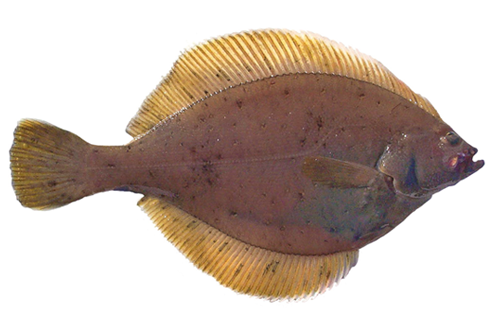 500x333-yellowfin-sole.png