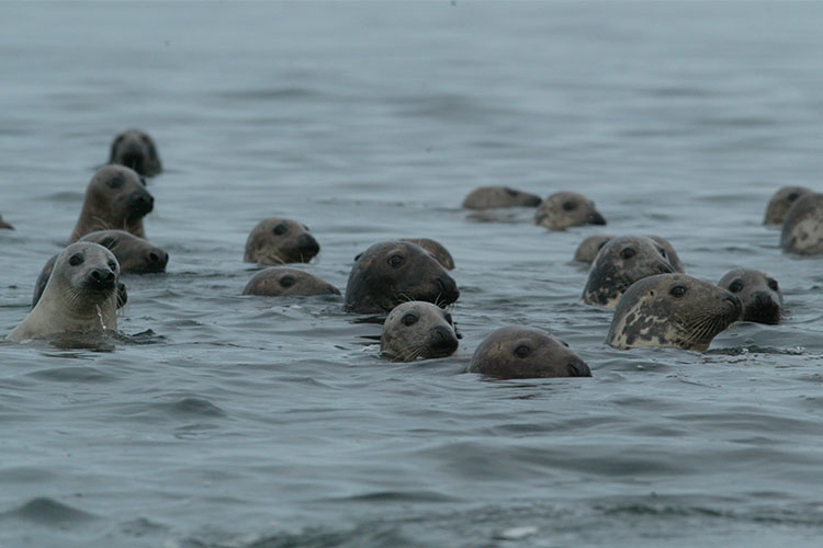 gray seals in the water at Chatham Harbor