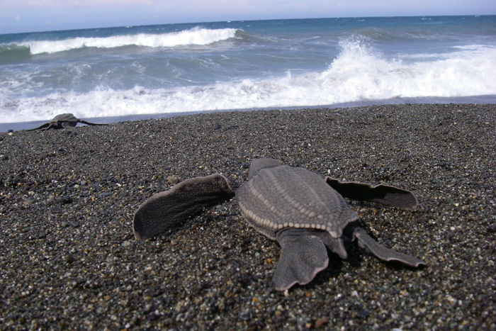 A newly-hatched leatherback sea turtle faces long odds when it heads out to sea. Photo: Scott Benson/NOAA Fisheries.