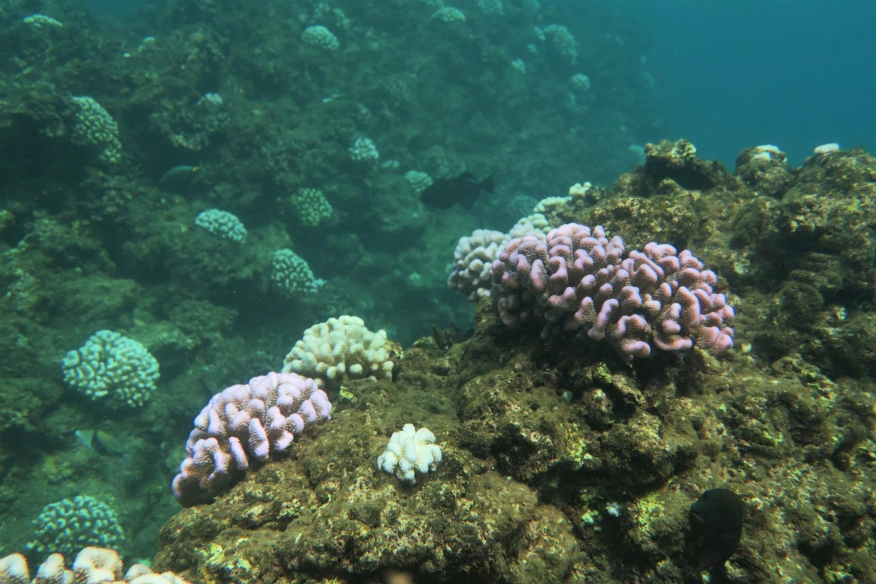 Fluorescing colonies interspersed among bleached colonies of Pocillopora meandrina at Black Point, Maui.