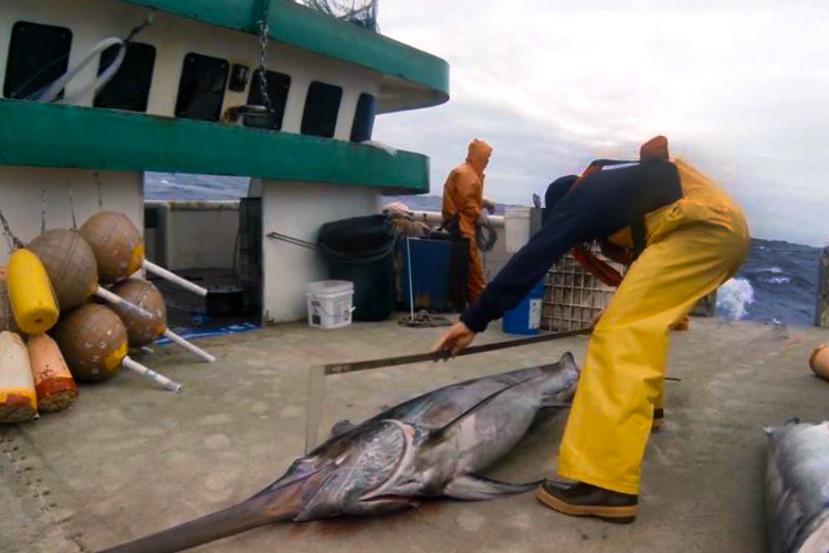Pacific Islands fishery observer is measuring a swordfish on a vessel out at sea.