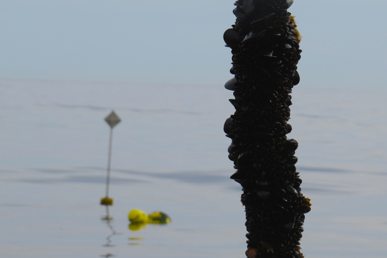 line with blue mussels growing, farm location boundary marker buoy is at left