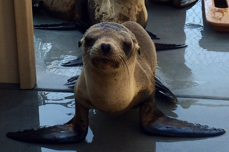 California sea lion in rehabilitation.