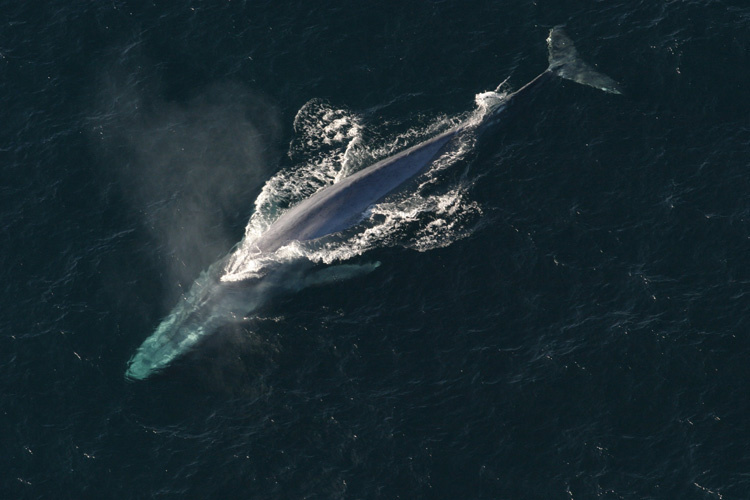 Aerial photograph of a blue whale swimming at the surface of the ocean.