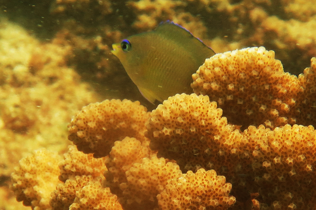 These damselfishes are often found guarding cauliflower-like coral heads. They dart in and out and chase away other fishes that come close — it's fun to watch. We can distinguish these fish by their bright blue eyes. <br><i>Photo: NOAA Fisheries/Raymond Boland </i>