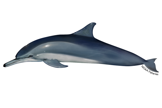 clymene dolphin illustration