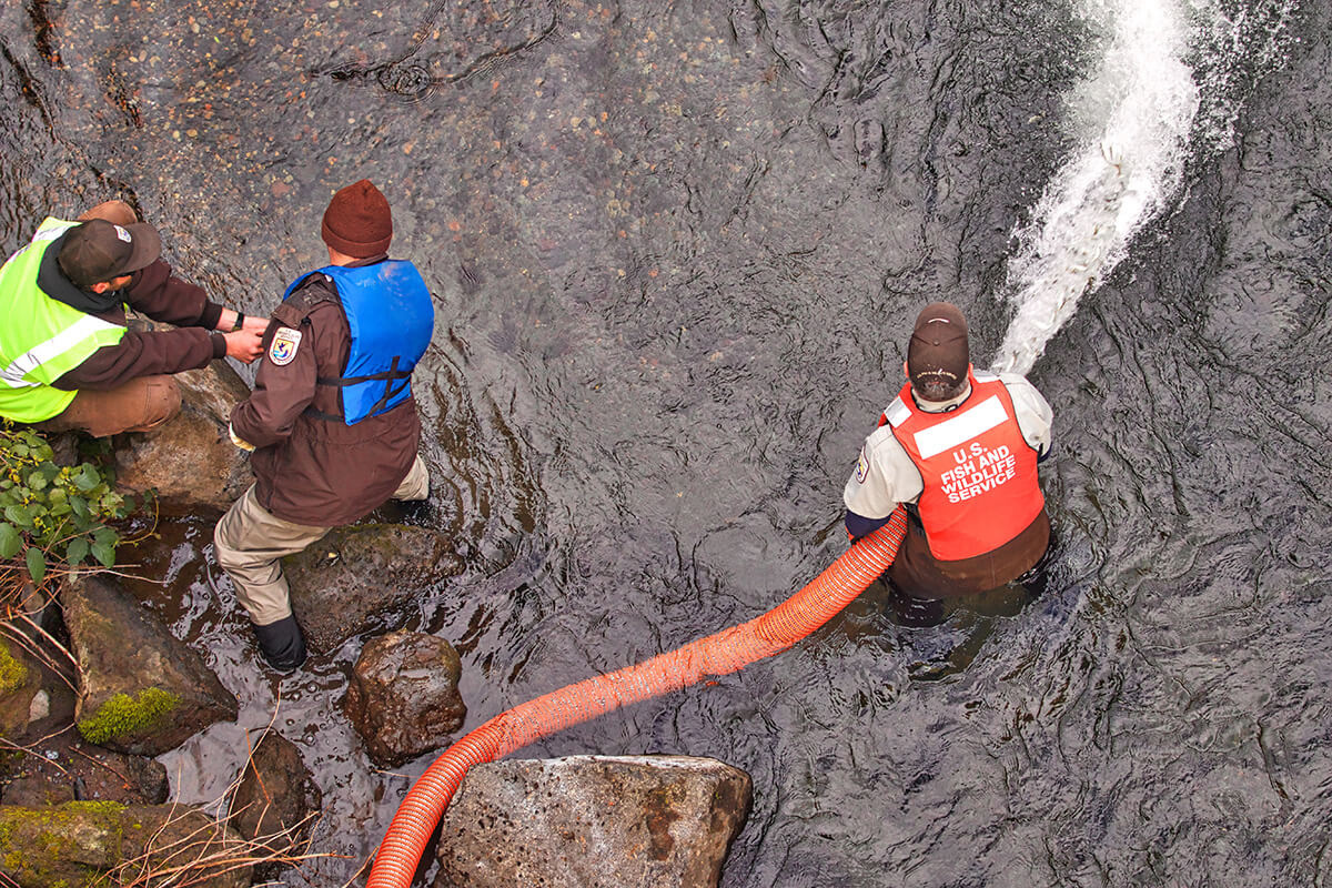 3 men in creek, one holds an orange hose with water and fish shooting out